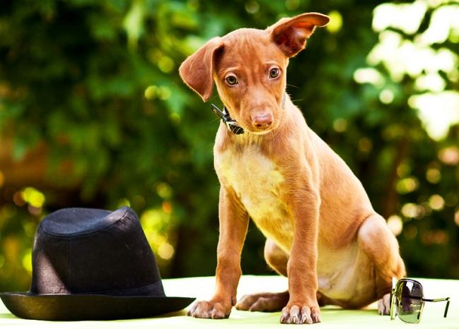 Милый щенок фараоновой собаки