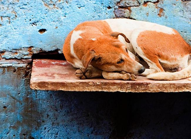 Пожилая собака спит