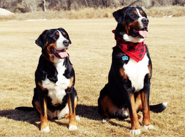Две красивые большие швейцарские горные пастушьи собаки