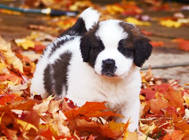 Рахиту особенно подвержены щенки крупных пород собак (доги, сенбернары, ротвейлеры и т.д.)