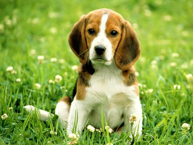 Милый щенок бигля