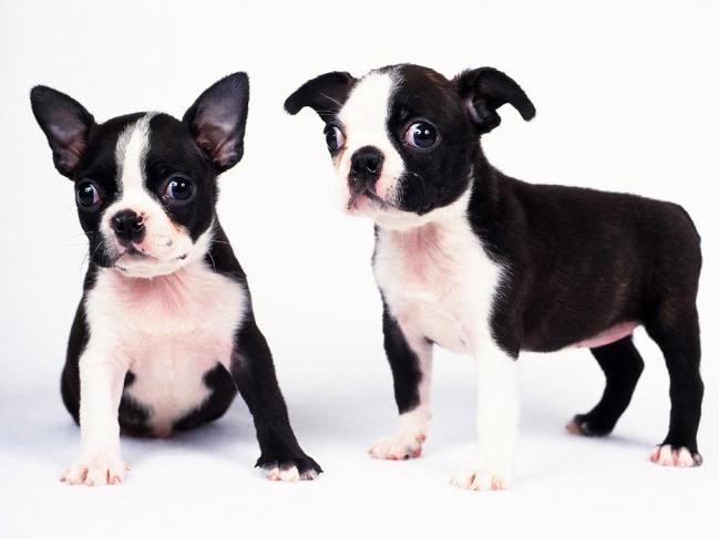 Удивительные щенки бостон-терьера
