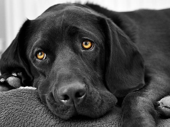 Грустная стареющая собака