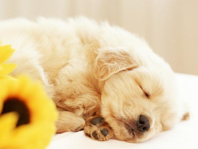 Большую часть суток новорожденные щенки спят