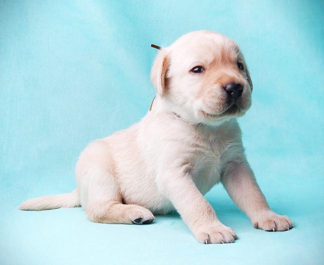 Новорожденные щенки должны быть обязательно осмотрены ветеринаром