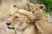 Львица с детенышем