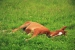 Лошадь спит лежа