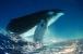 У синего кита 3-х метровый язык