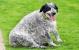 Кэсси, семилетняя бордер-колли, самая толстая собака Великобритании