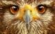 Сокол может заметить дичь с расстояния в 8 километров