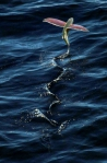 Летучая рыба - до 30 секунд в воздухе